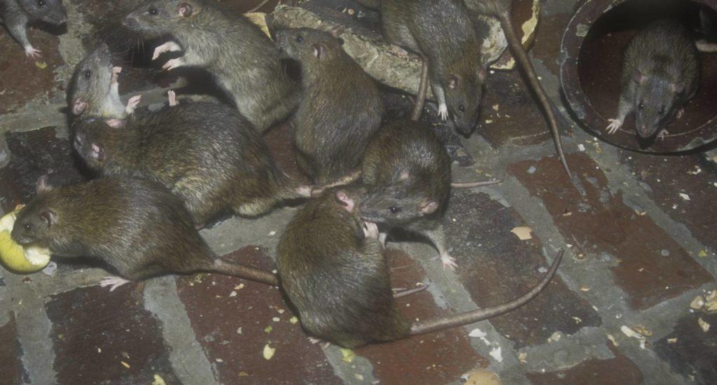 уничтожение крыс в Бийске